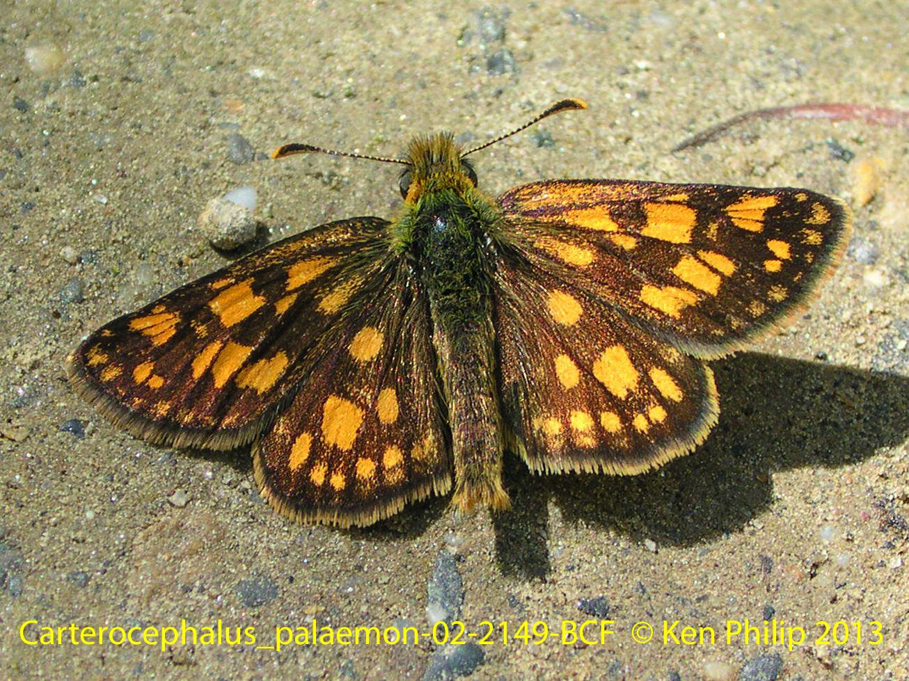03-Carterocephalus_palaemon-02-2149-BCF