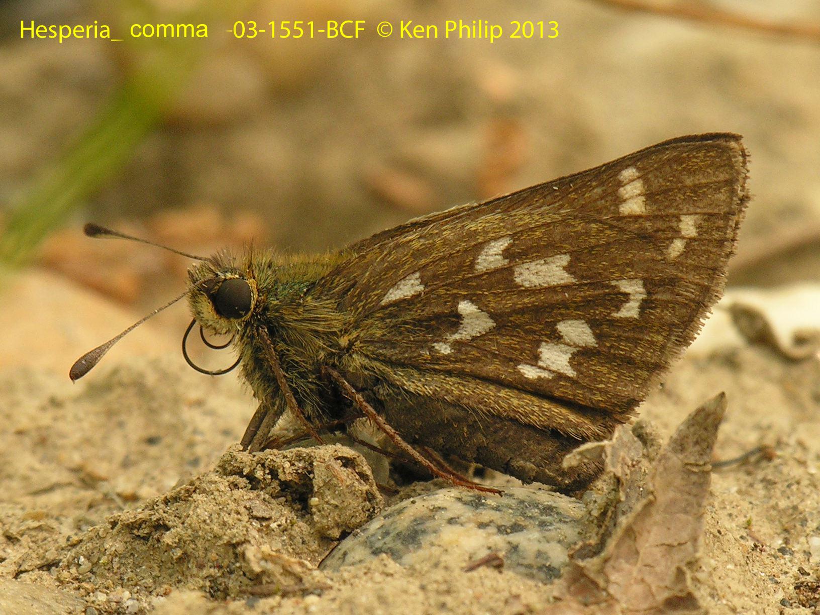 04-Hesperia_comma-03-1551-BCF