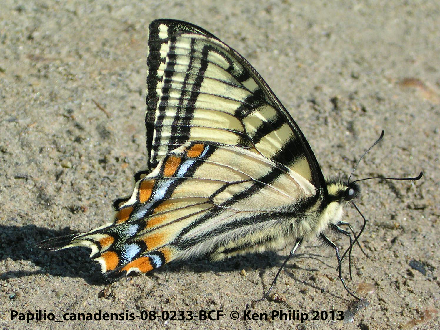 09-Papilio_canadensis-08-0233-BCF