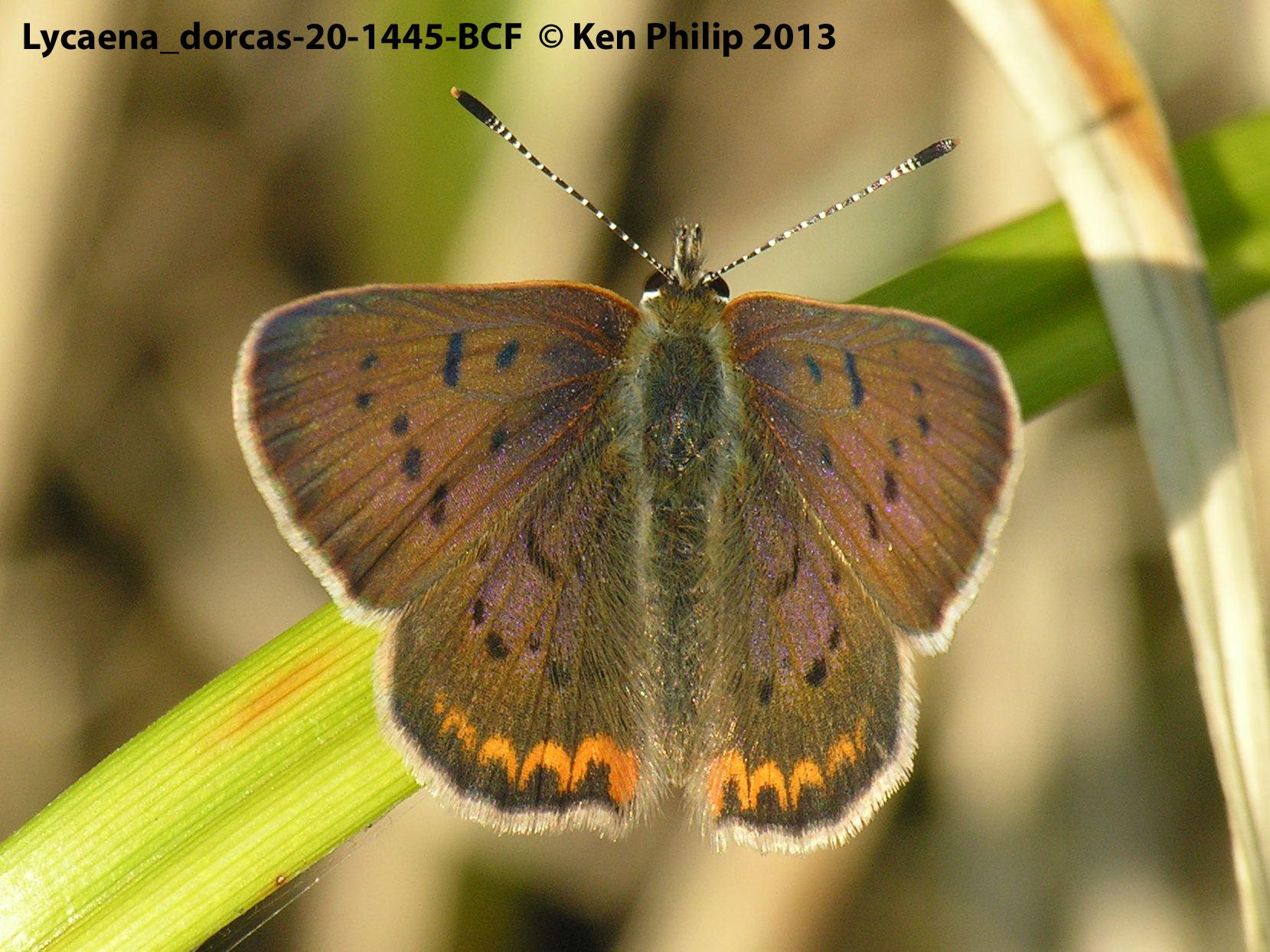 25-Lycaena_dorcas-20-1445-BCF