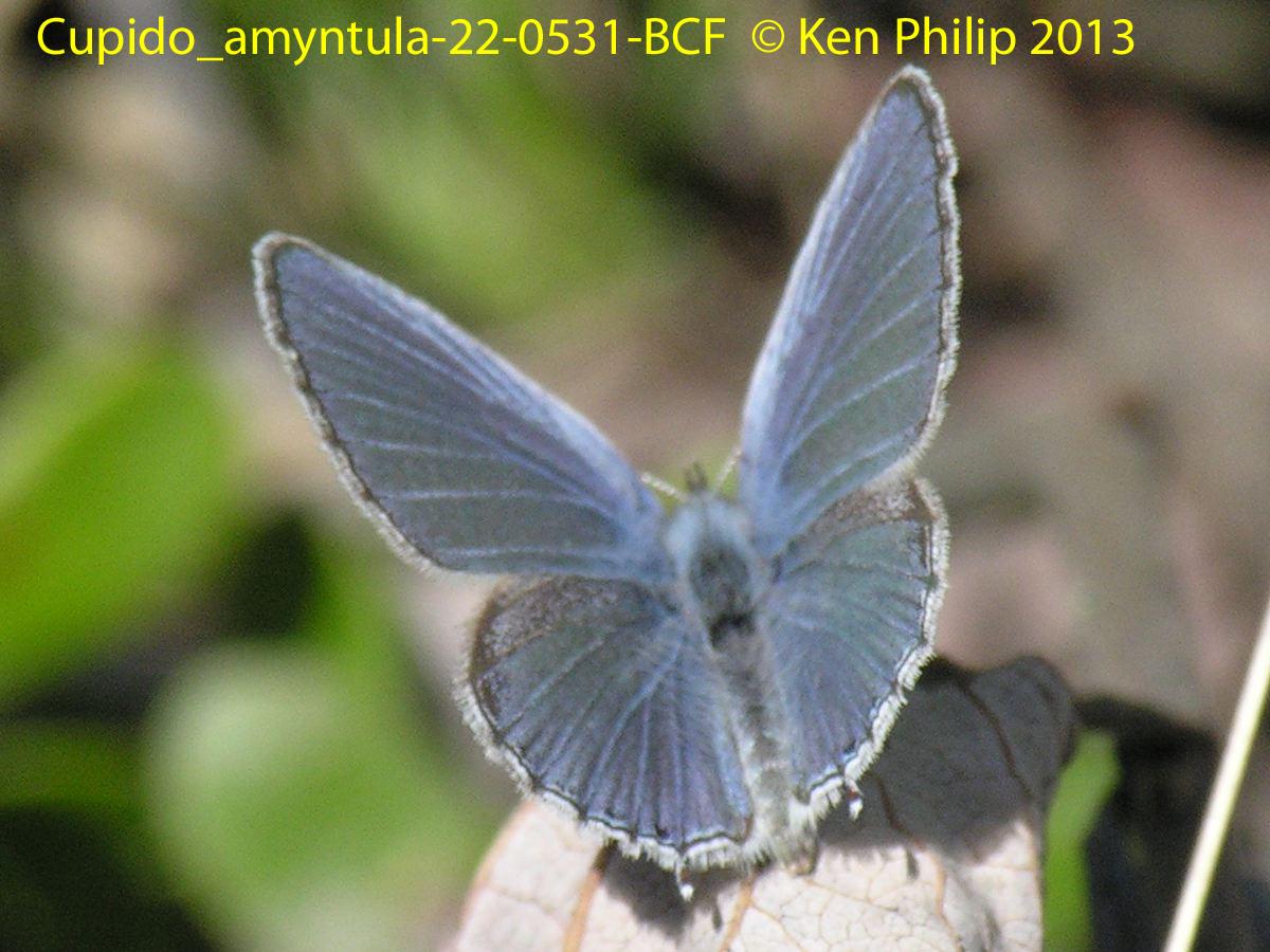 29-Cupido_amyntula-22-0531-BCF