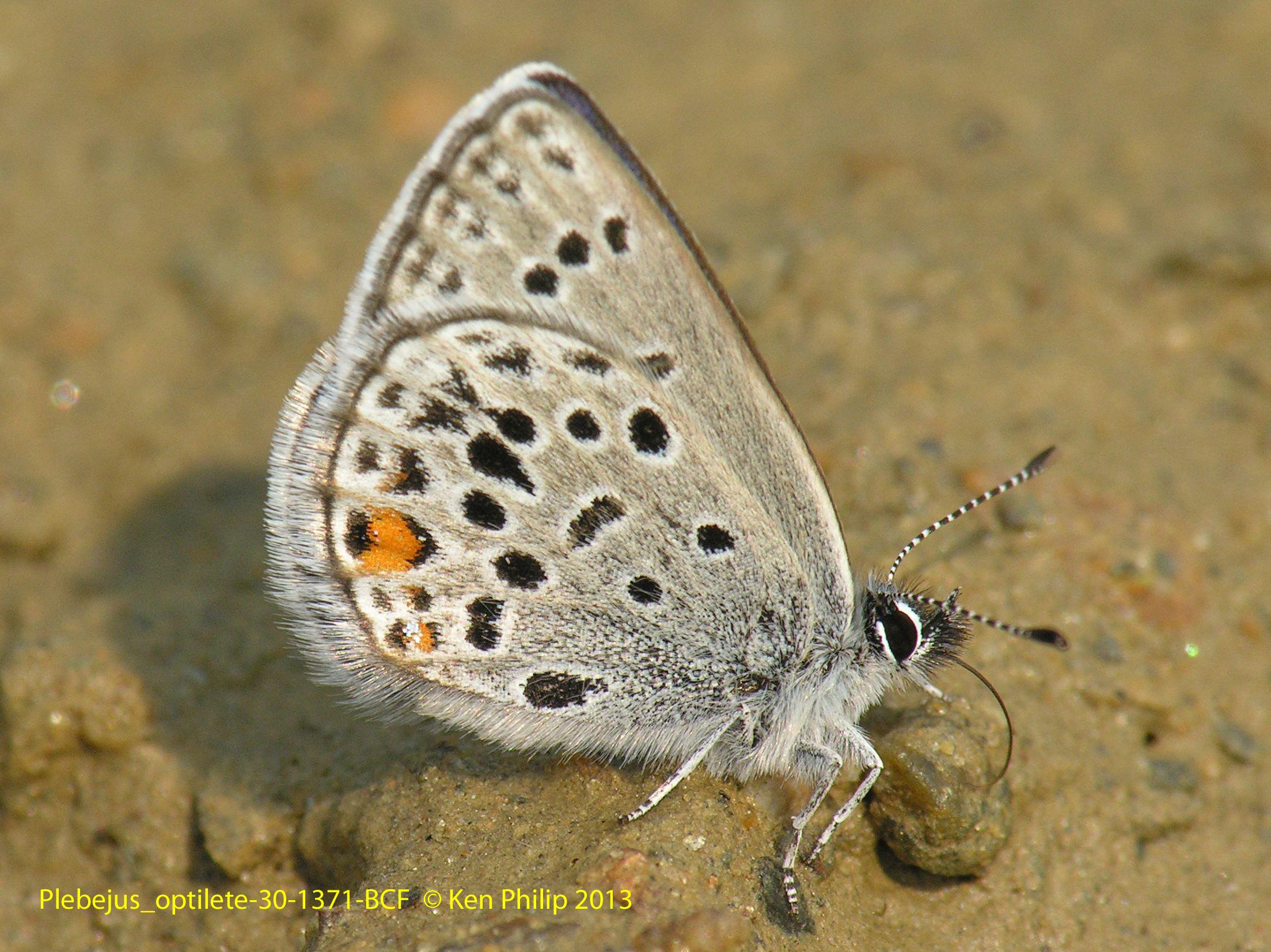 34-Agriades_optilete-30-1371-BCF