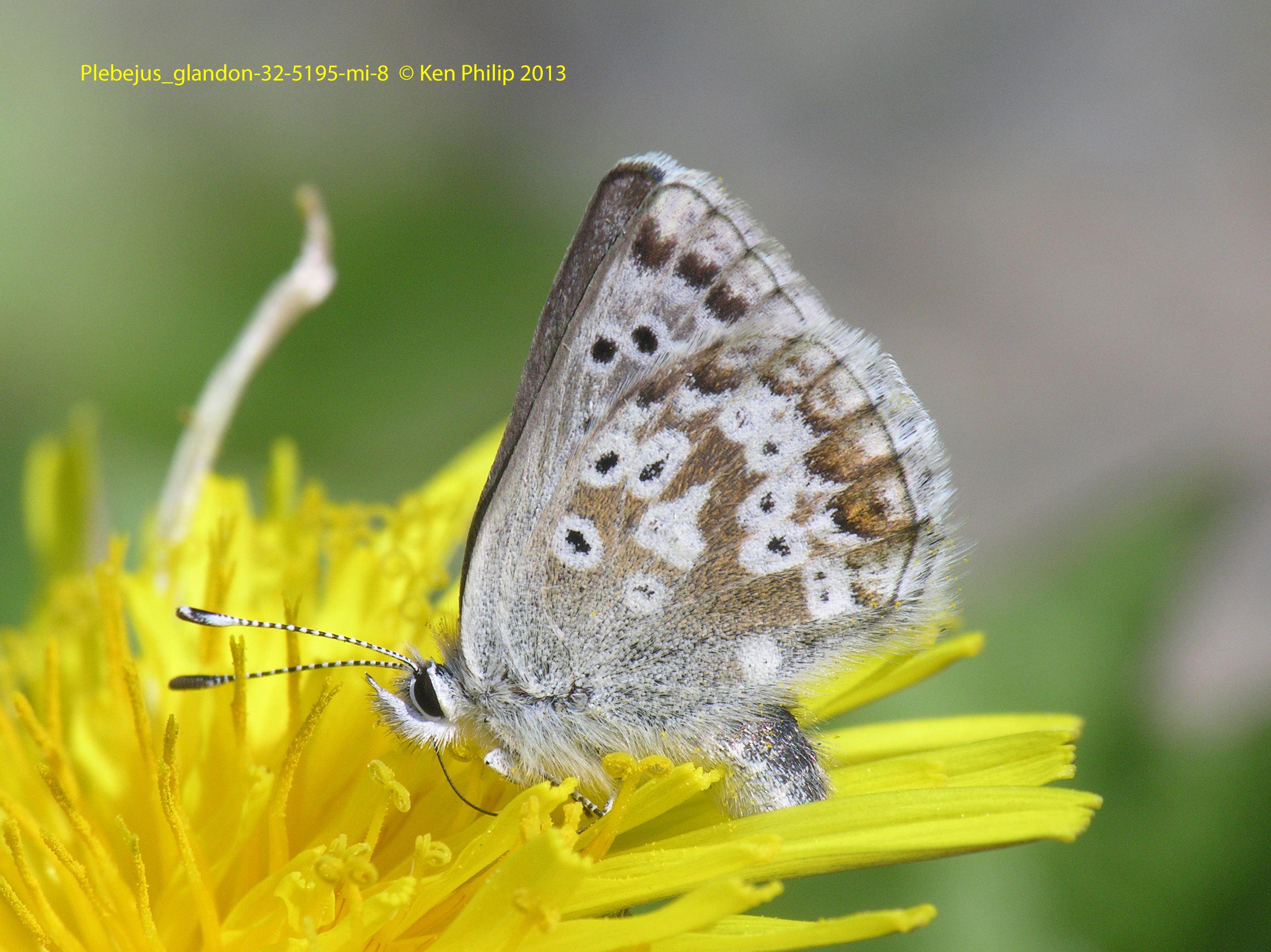 35-Agriades_glandon-32-5195-mi-8.5-HH