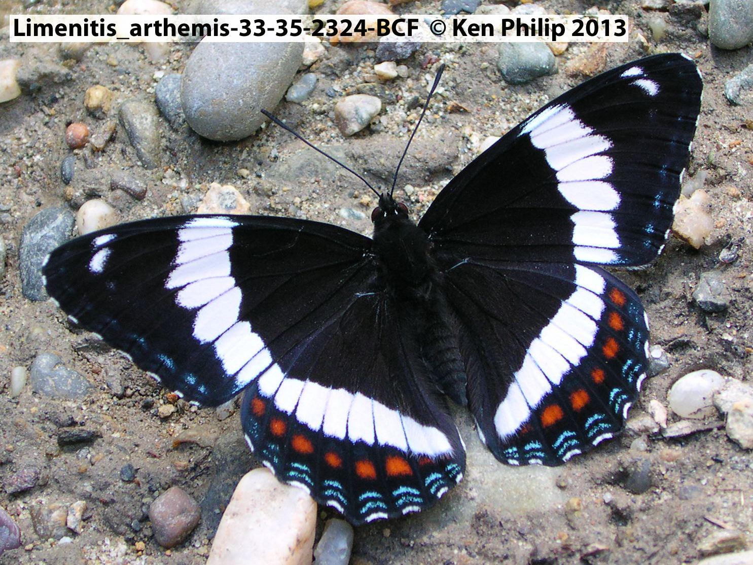 36-Limenitis_arthemis-33-35-2324-BCF