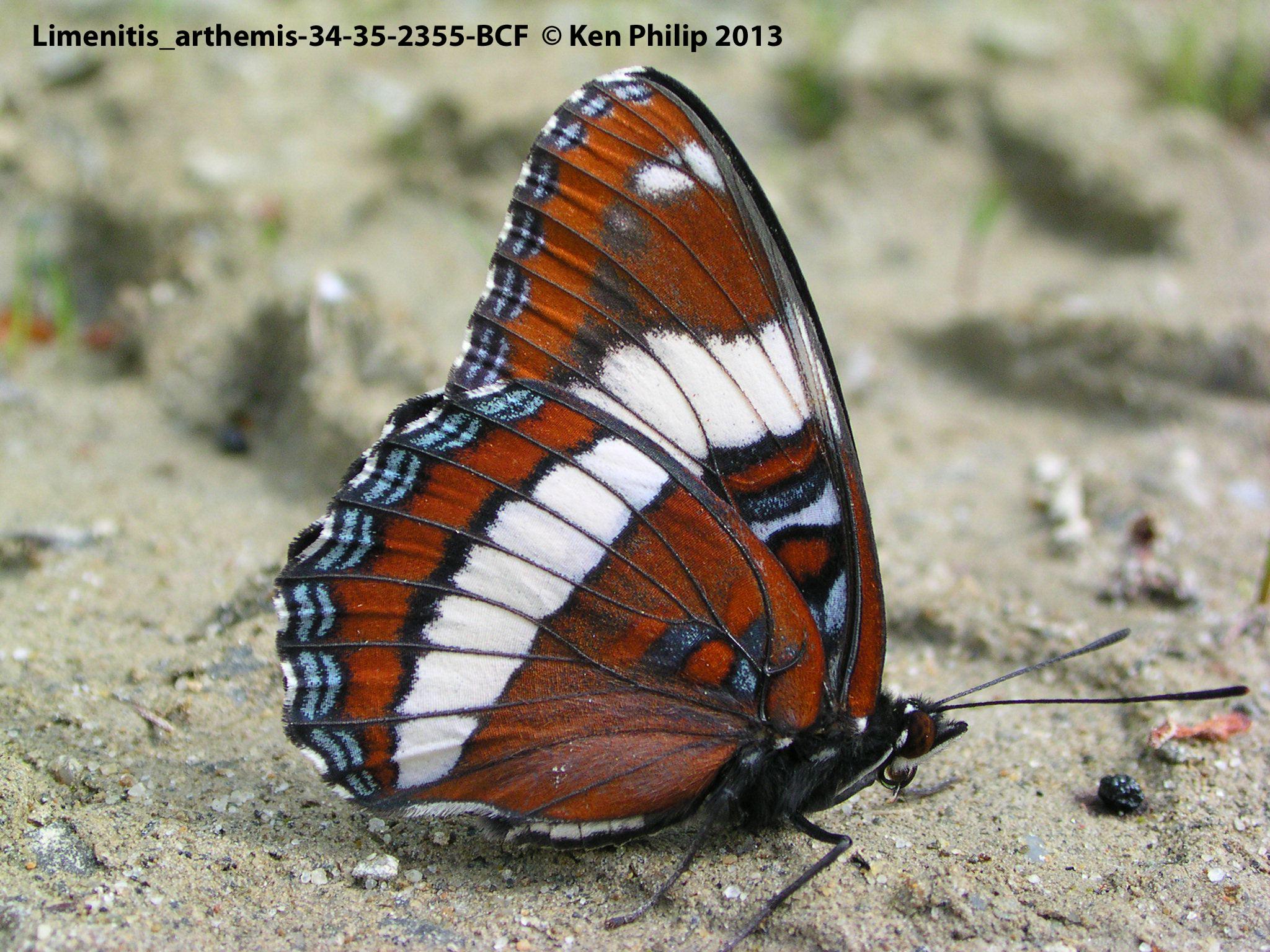 36-Limenitis_arthemis-34-35-2355-BCF