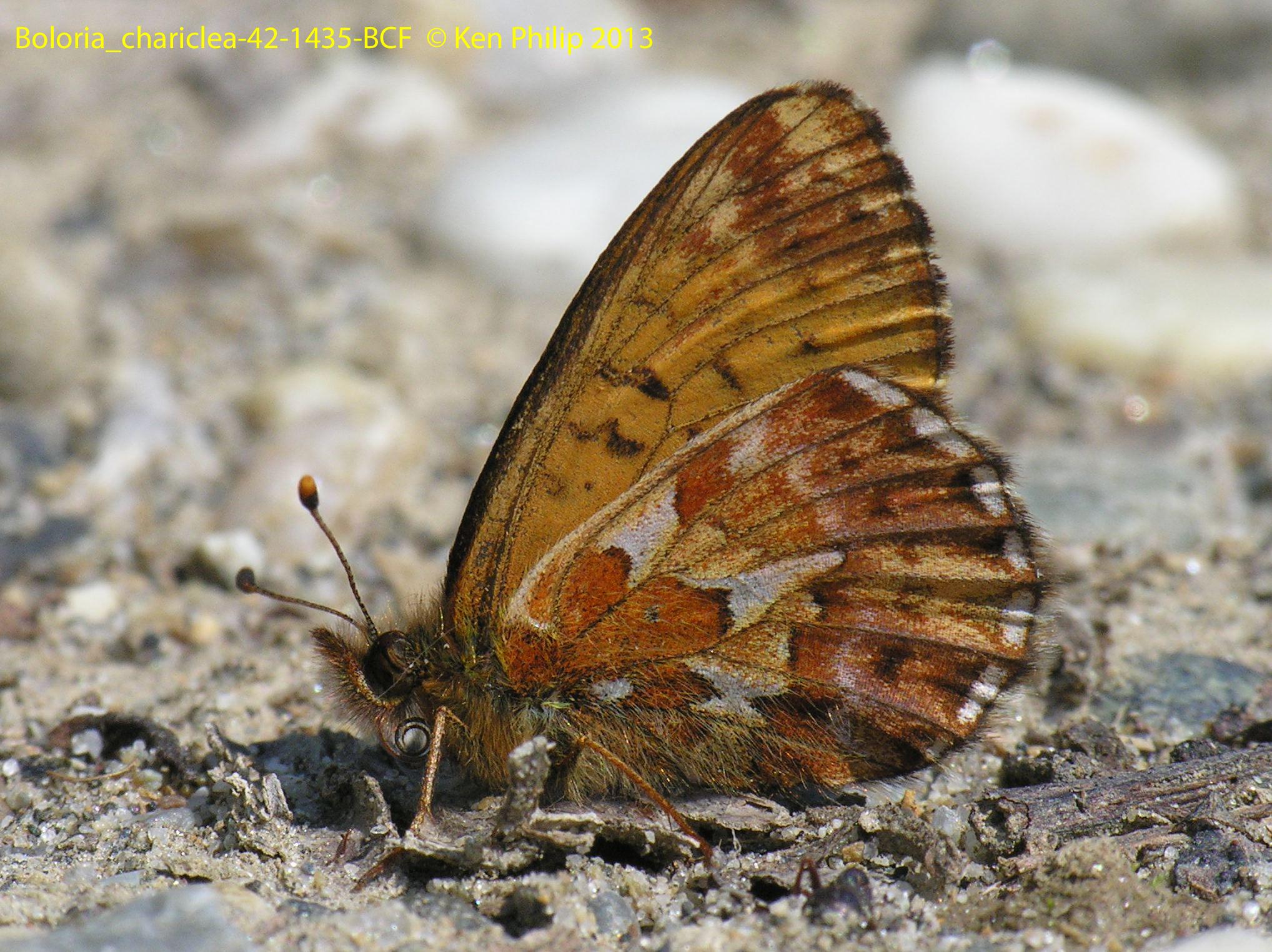 47-Boloria_chariclea-42-1435-BCF