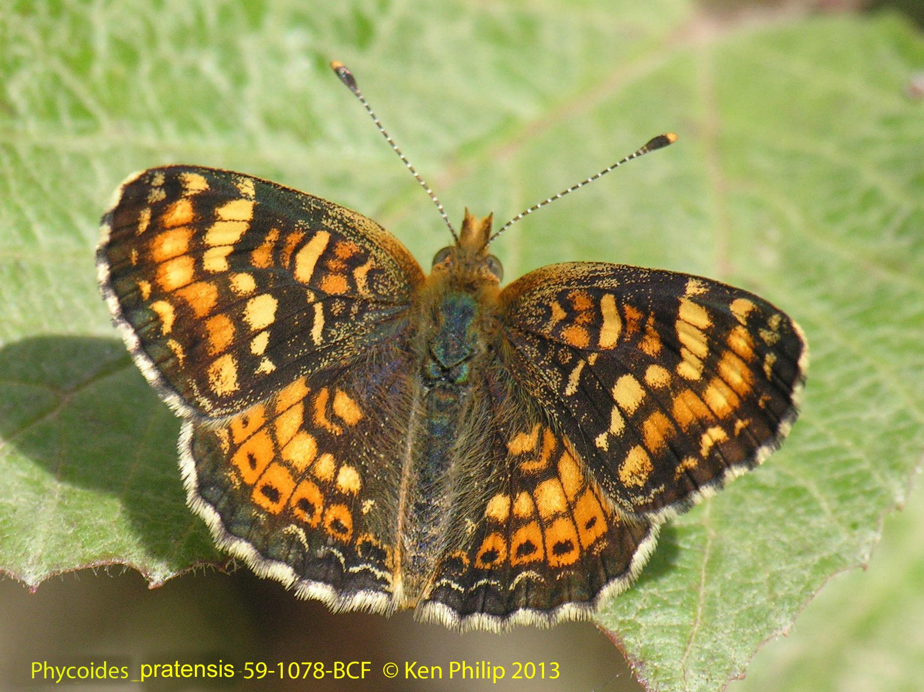 59-Phyciodes_pratensis-59-1078-BCF