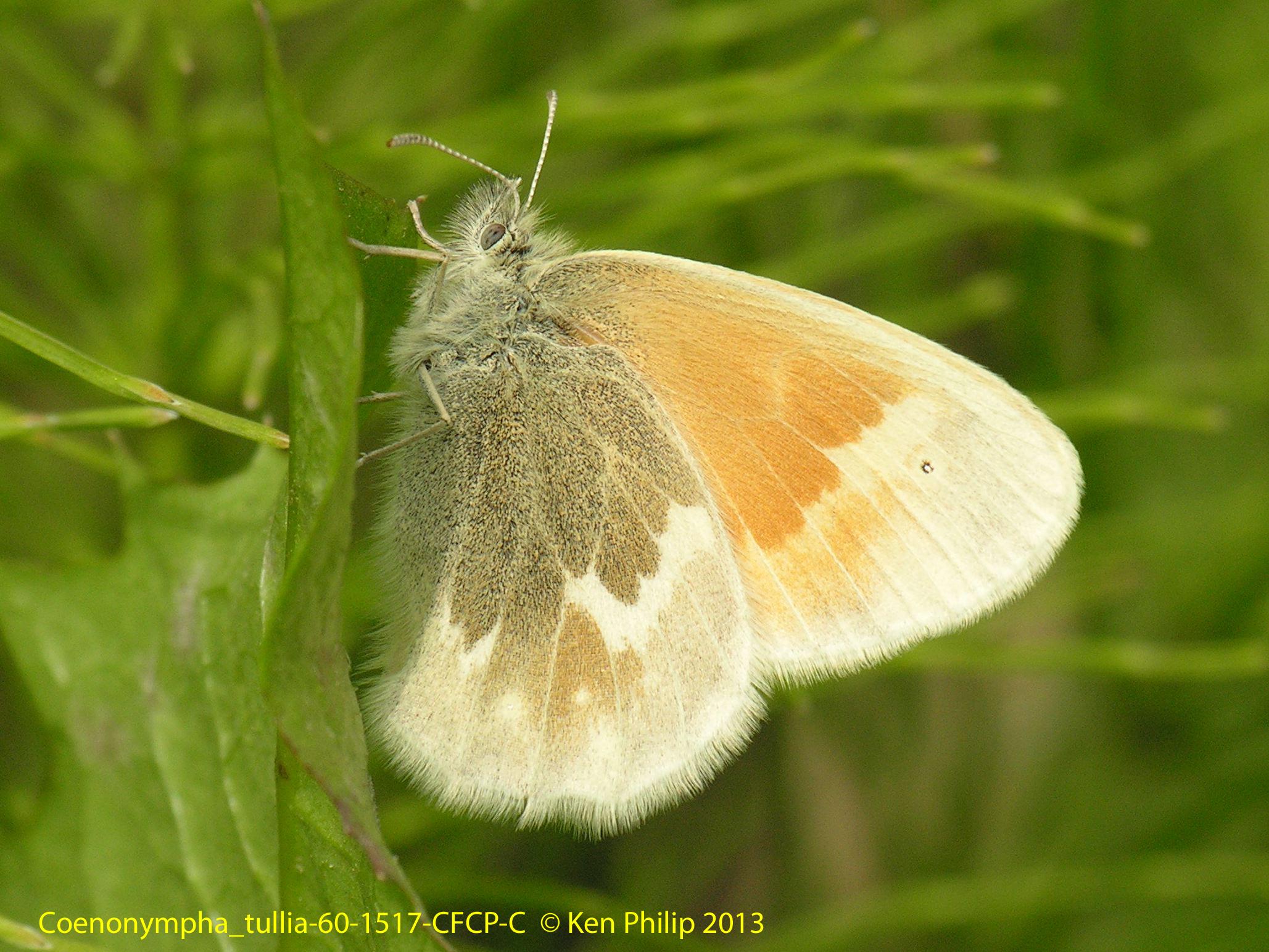60-Coenonympha_tullia-60-1517-CFCP-C._kodiak