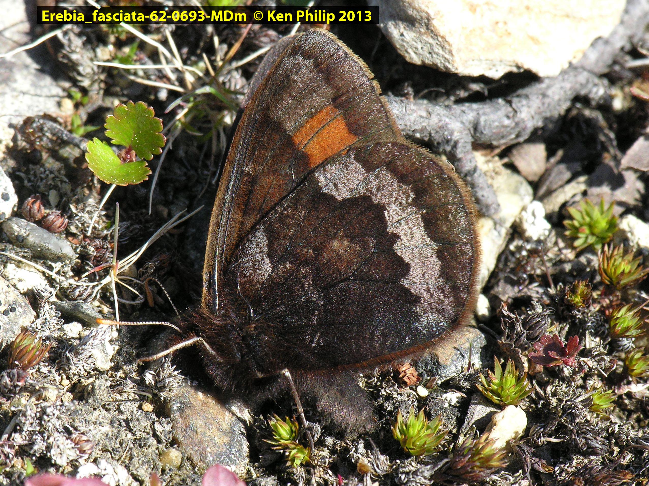65-Erebia_fasciata-62-0693-MDm