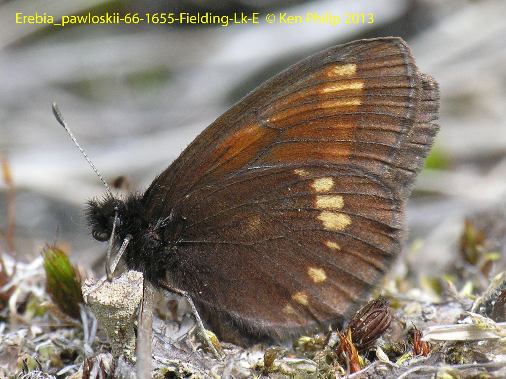 68-Erebia_pawloskii-66-1655-Fielding-Lk-E._theano